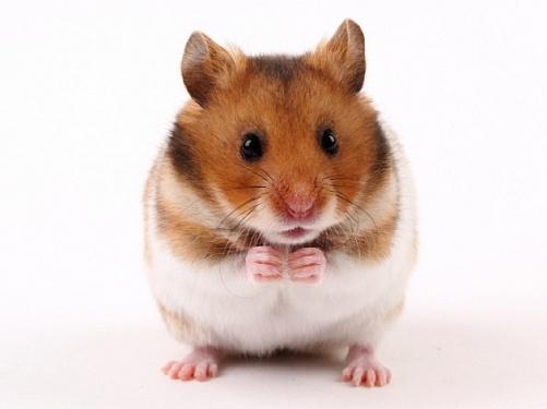 Практический совет о маникюре хомячка: как подстричь когти грызуну