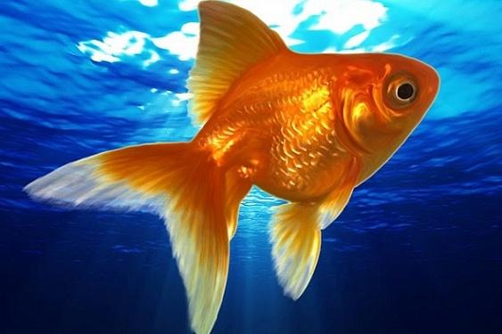 Разновидовой аквариум: с кем совместимы золотые рыбки?