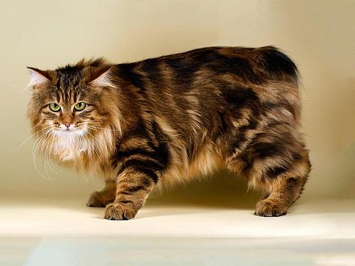Курильский бобтейл: есть ли жизнь у кота без хвоста?