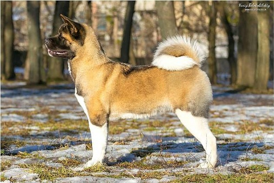 Собака-самурай: о непредсказуемости характера американских акит из уст известного кинолога