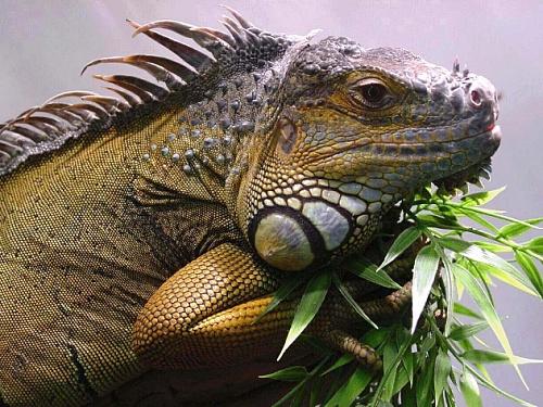 Игуана дома: важные аспекты содержания рептилии