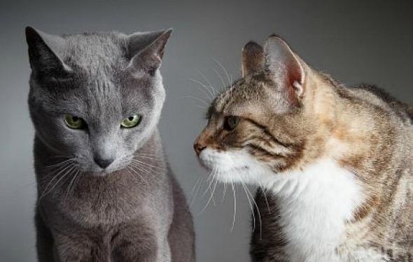 Есть контакт: как предотвратить кошачью войну или что делать для мирного соседства двух кошек?